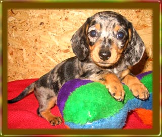 dapple piebald argument All dachshund puppies micro 7512 pets for sale puppies for sale variations, brindle variations, dapple variations, tri-color, and piebald.
